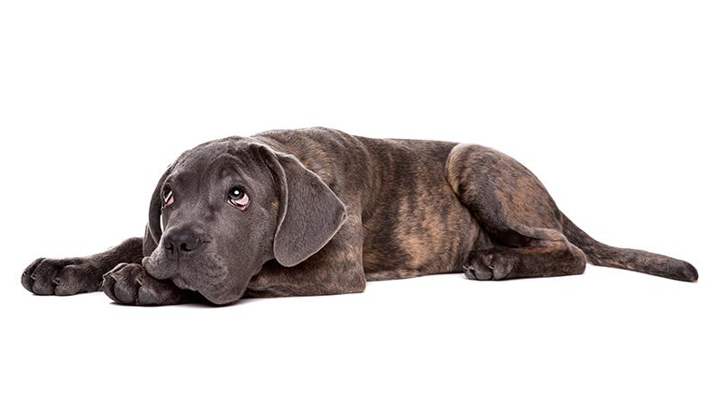 Stresset hund
